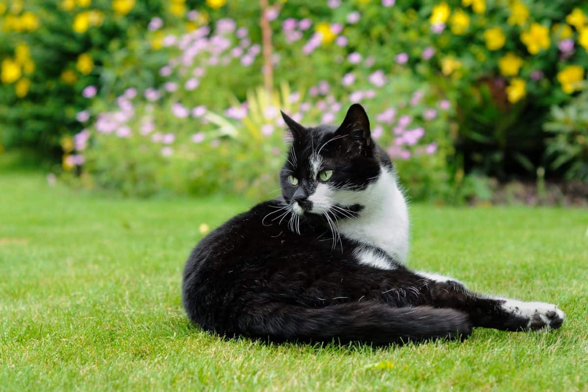 gato, naturaleza, lindo, hierba, al aire libre, animal, carnívoro, Zoología