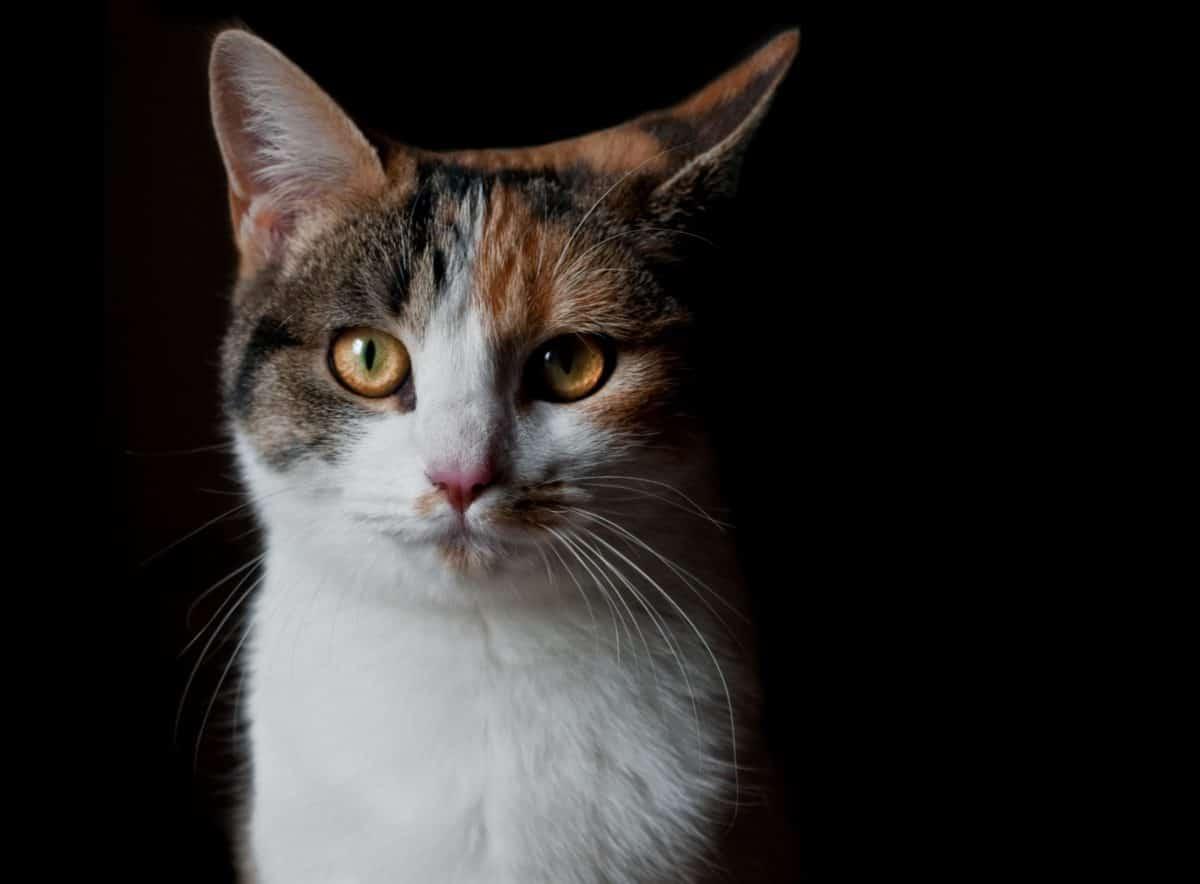 Linda, oscura, sombra, animal mascota, gato, retrato, ojo animal, piel,