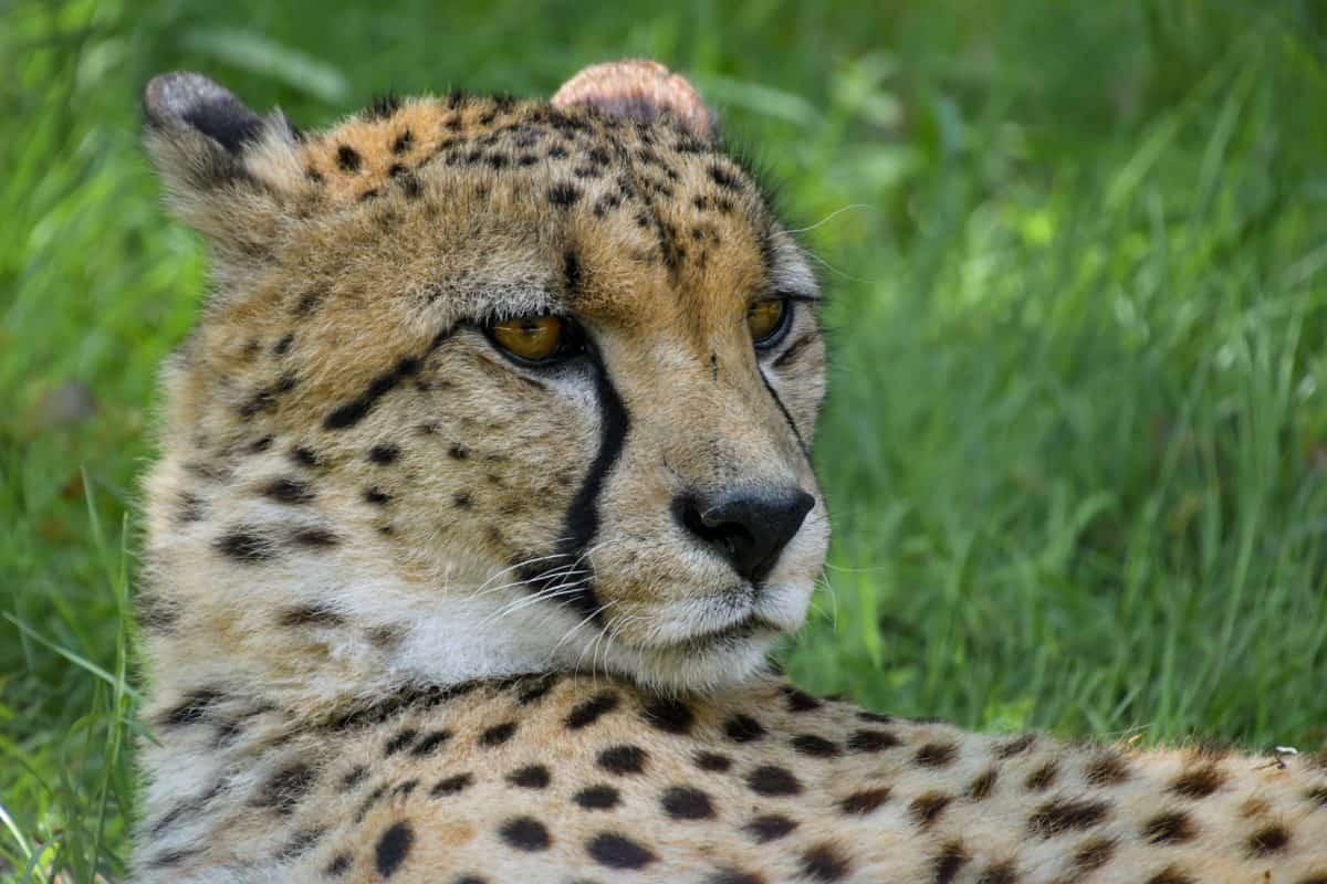 猎豹, 捕食者, 猫, 动物, 食肉兽, 野生动物园, 非洲, 野生