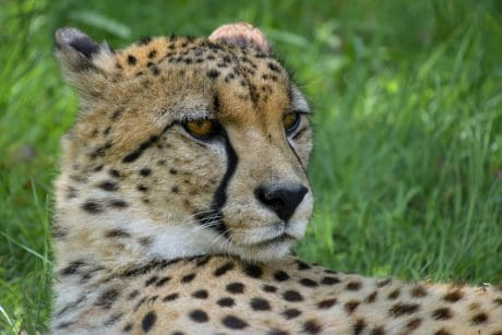cheetah, predator, cat, animal, carnivore, safari, Africa, wild