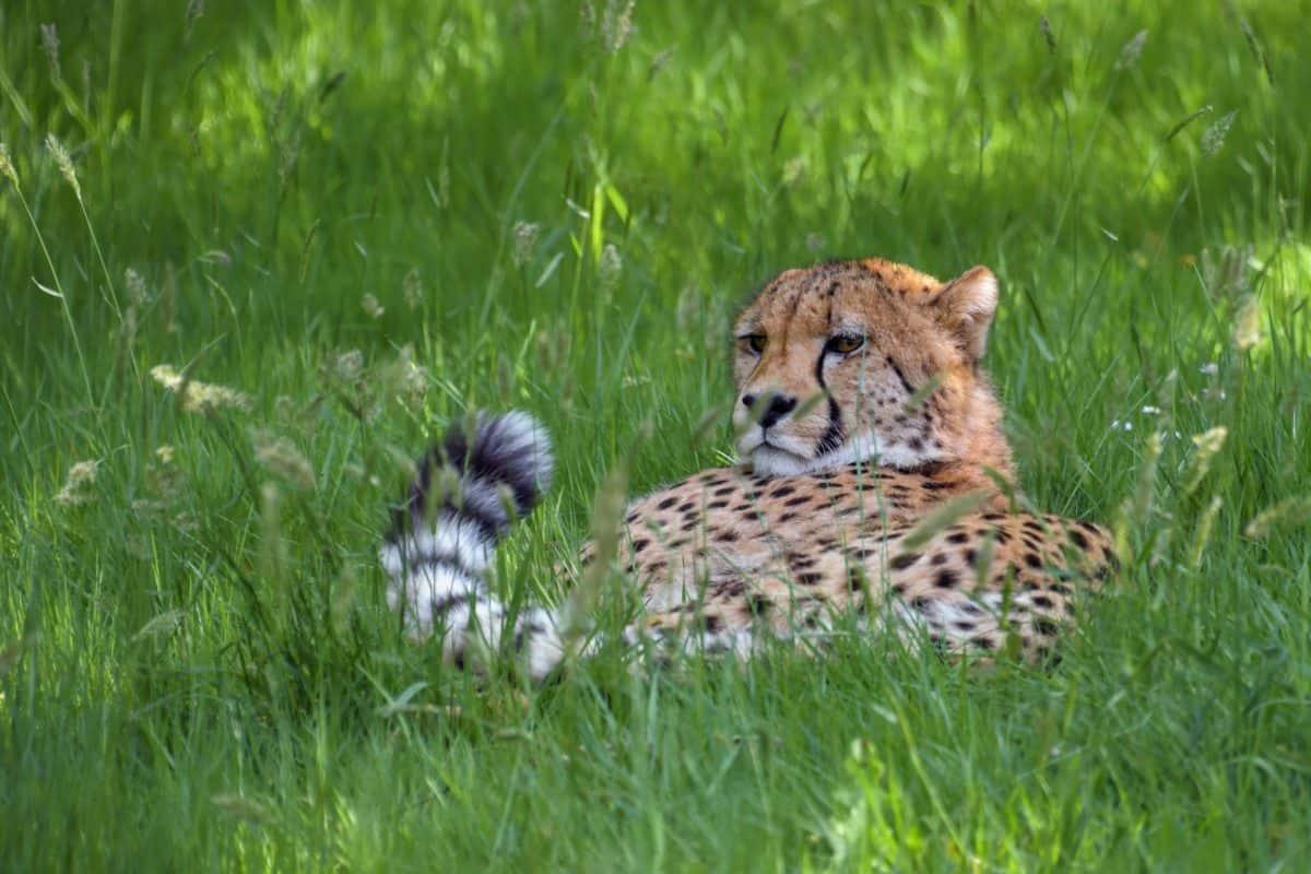 ghepardo, fauna, selvatica, natura, gatto selvatico, erba, campo all'aperto, animale,