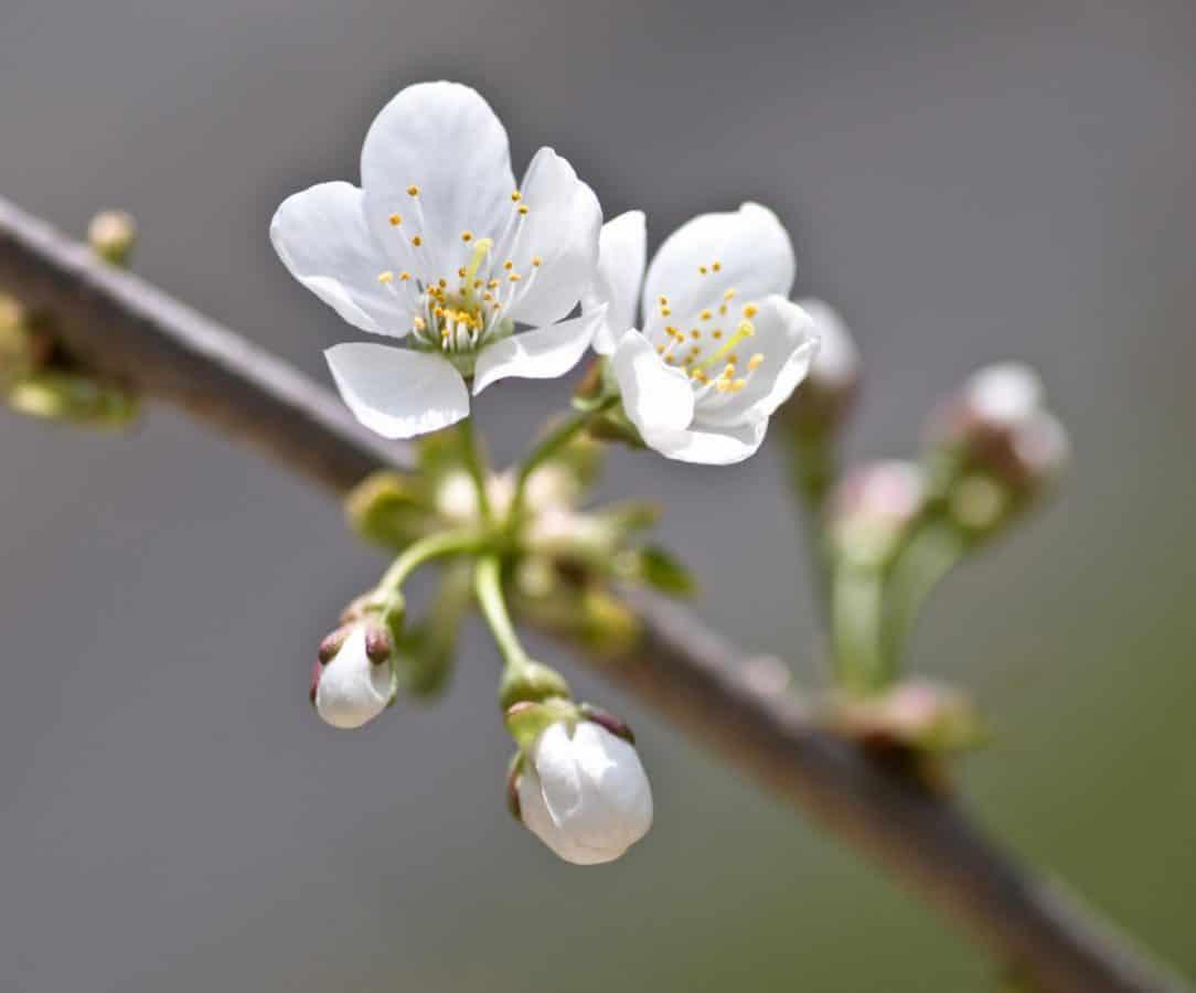 arbre, branche, flore, fleur, cerisier, nature, verger, pistil
