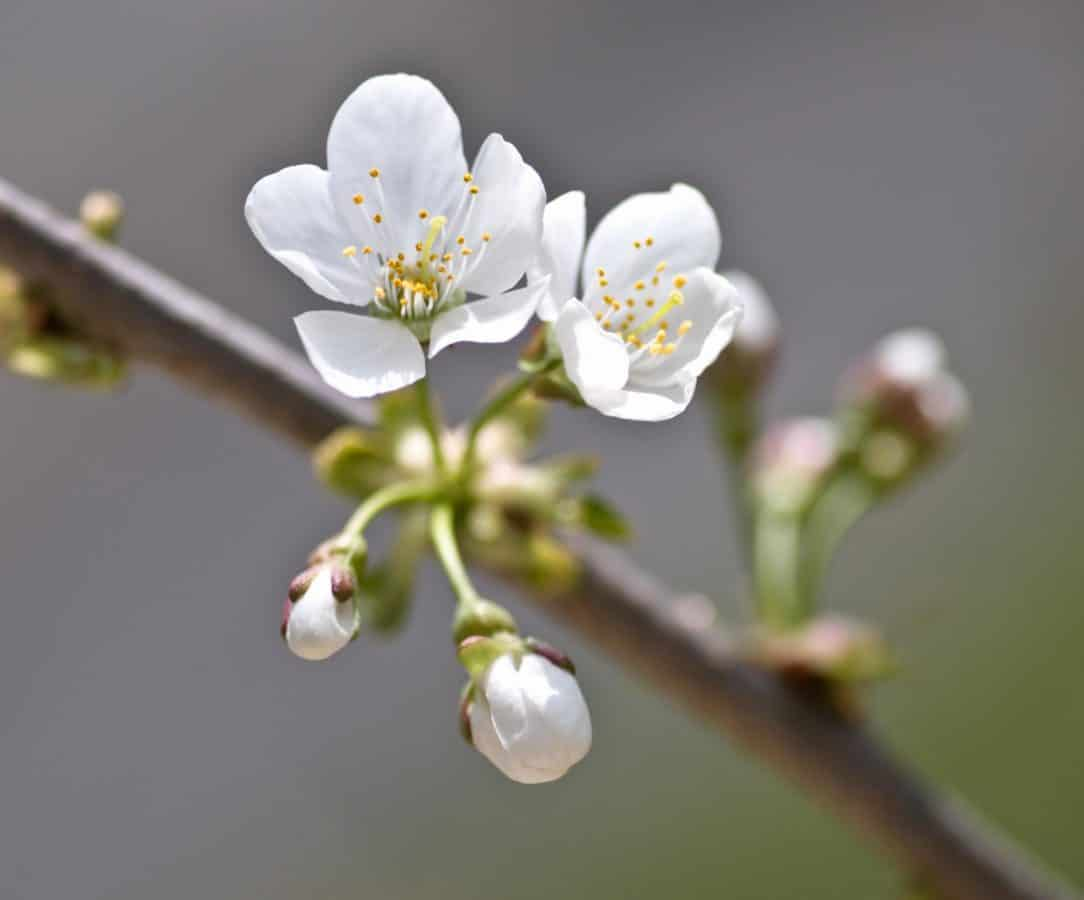 tree, branch, flora, flower, cherry, nature, orchard, pistil