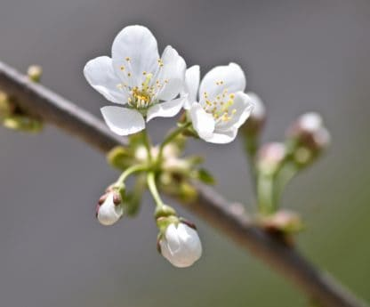 tree, branch, flora, flower, cherry, nature, orchard, pistil