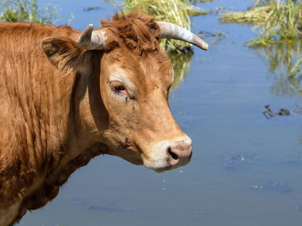 grass, animal, cow, cattle, agriculture, livestock, water, plant