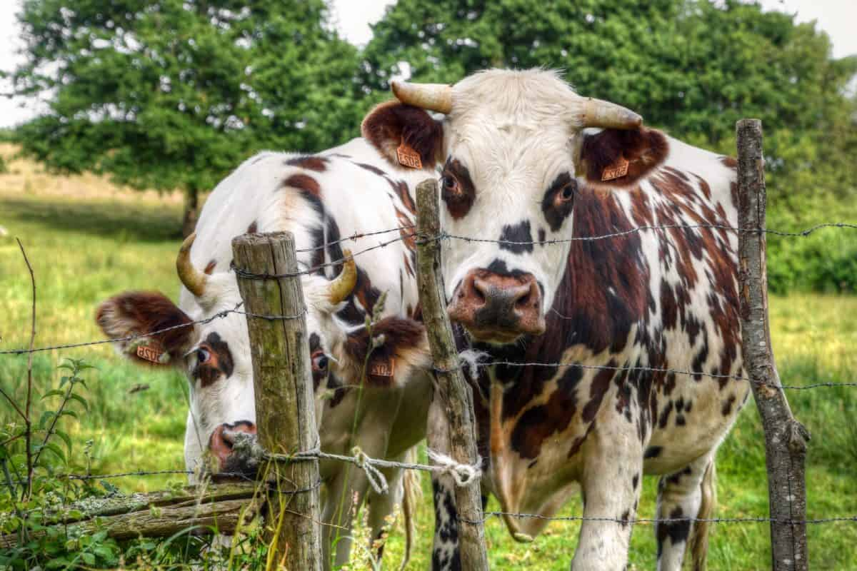 cattle, livestock, agriculture, grass, cow, farmland, animal