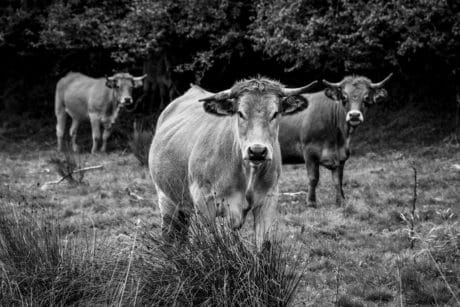 cow, livestock, tree, grass, agriculture, animal, cattle