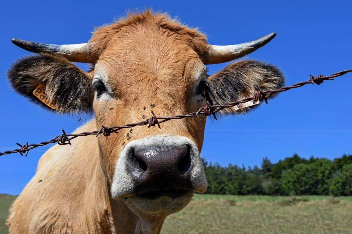 животните, крава, природа, земеделие, животновъдство, едър рогат добитък, синьо небе