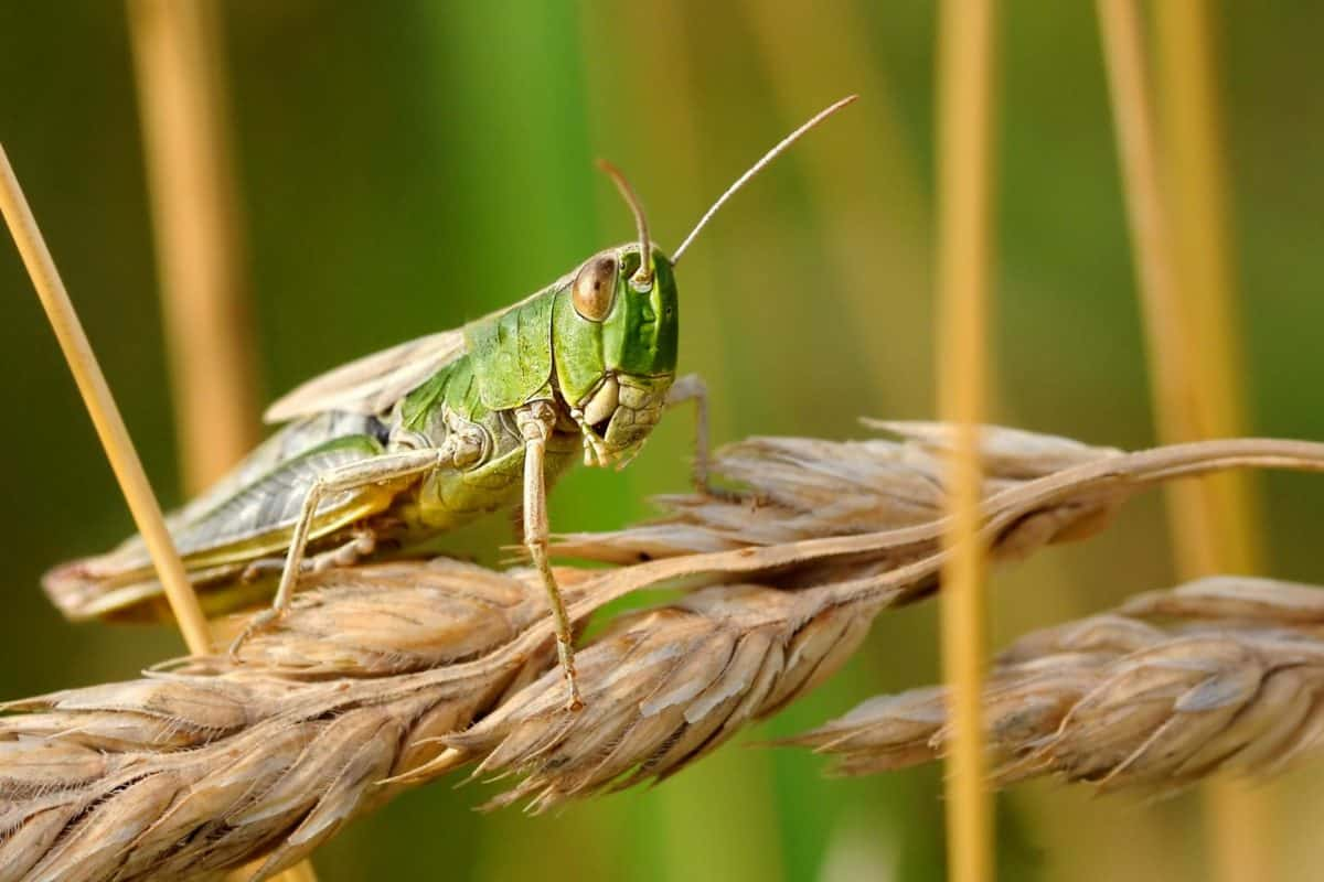 nature, wildlife, animal, grasshopper, insect, arthropod, grass
