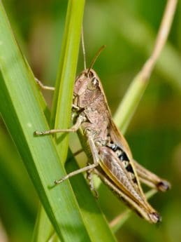 animal, insect, nature, grasshopper, invertebrate, green grass