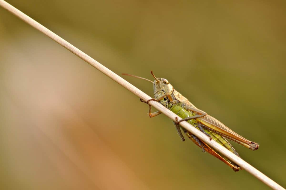 grasshopper, animal, wildlife, insect, nature, arthropod, invertebrate