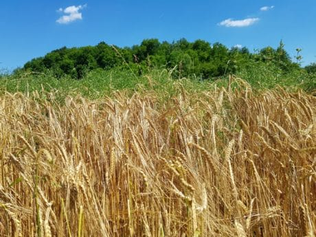 countryside, rye, cereal, straw, field, blue sky, agriculture