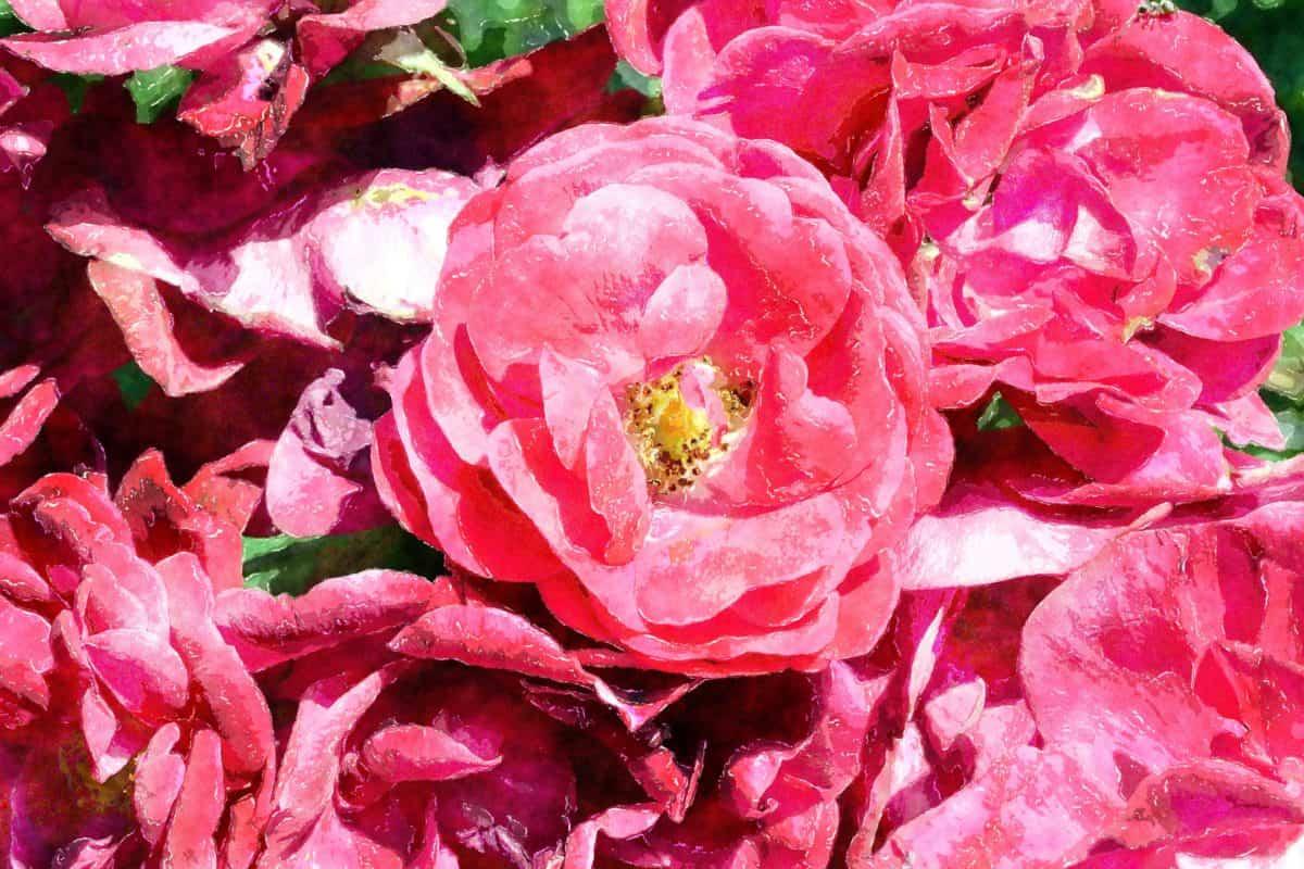Лепесток, цветок, флора, лист, Роза, Сад, природа, розовый, завод