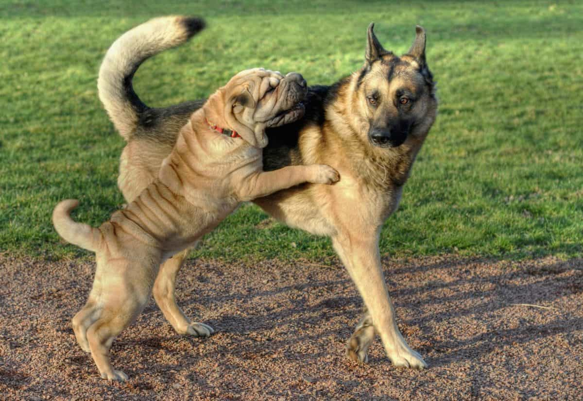 animali, cane, animali, carino, erba, all'aperto, giocoso