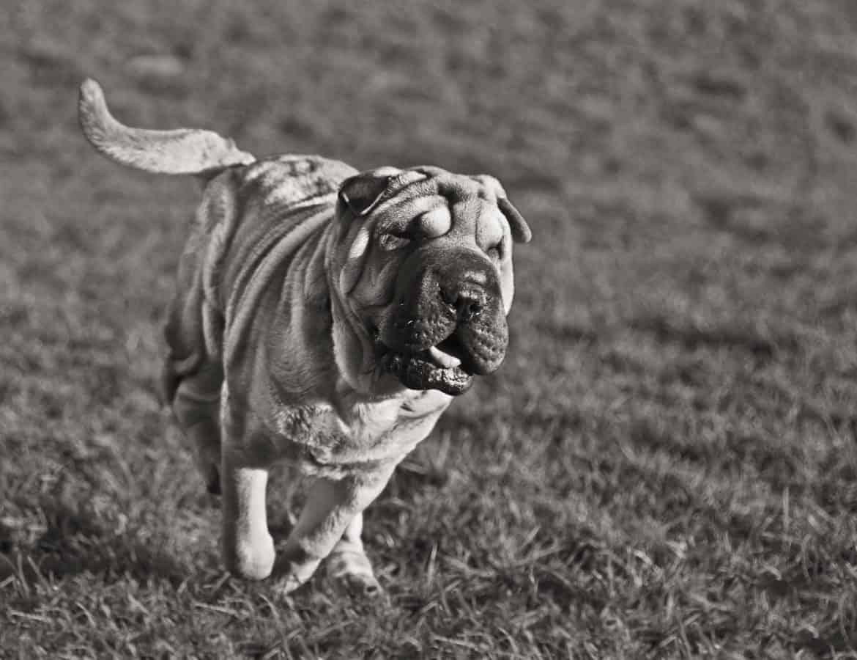 chien, animal, chien, herbe, extérieur, champ, noir, blanc, monochrome