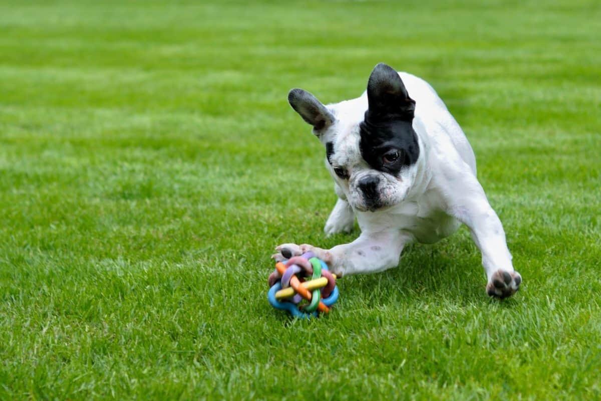 campo, erba, Prato, cucciolo, cane, all'aperto, giocoso