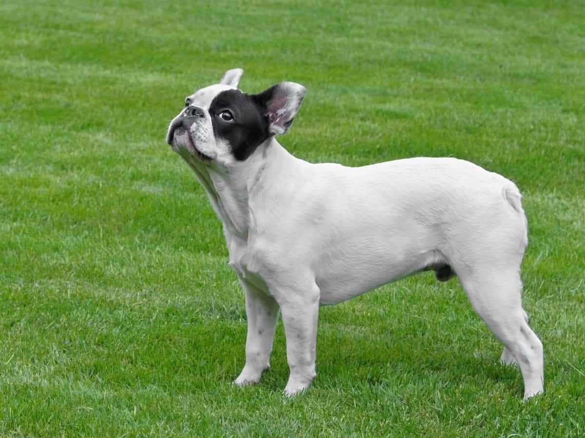 Tier Haustier, Hund, Hunde, Welpen, Tier, Rasen, Niedlich, outdoor, Feld