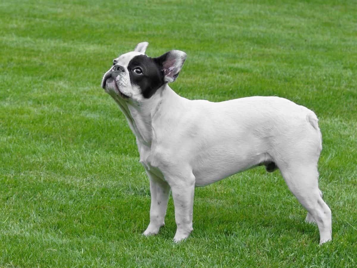 animal pet, dog, canine, puppy, animal, grass, cute, outdoor, field