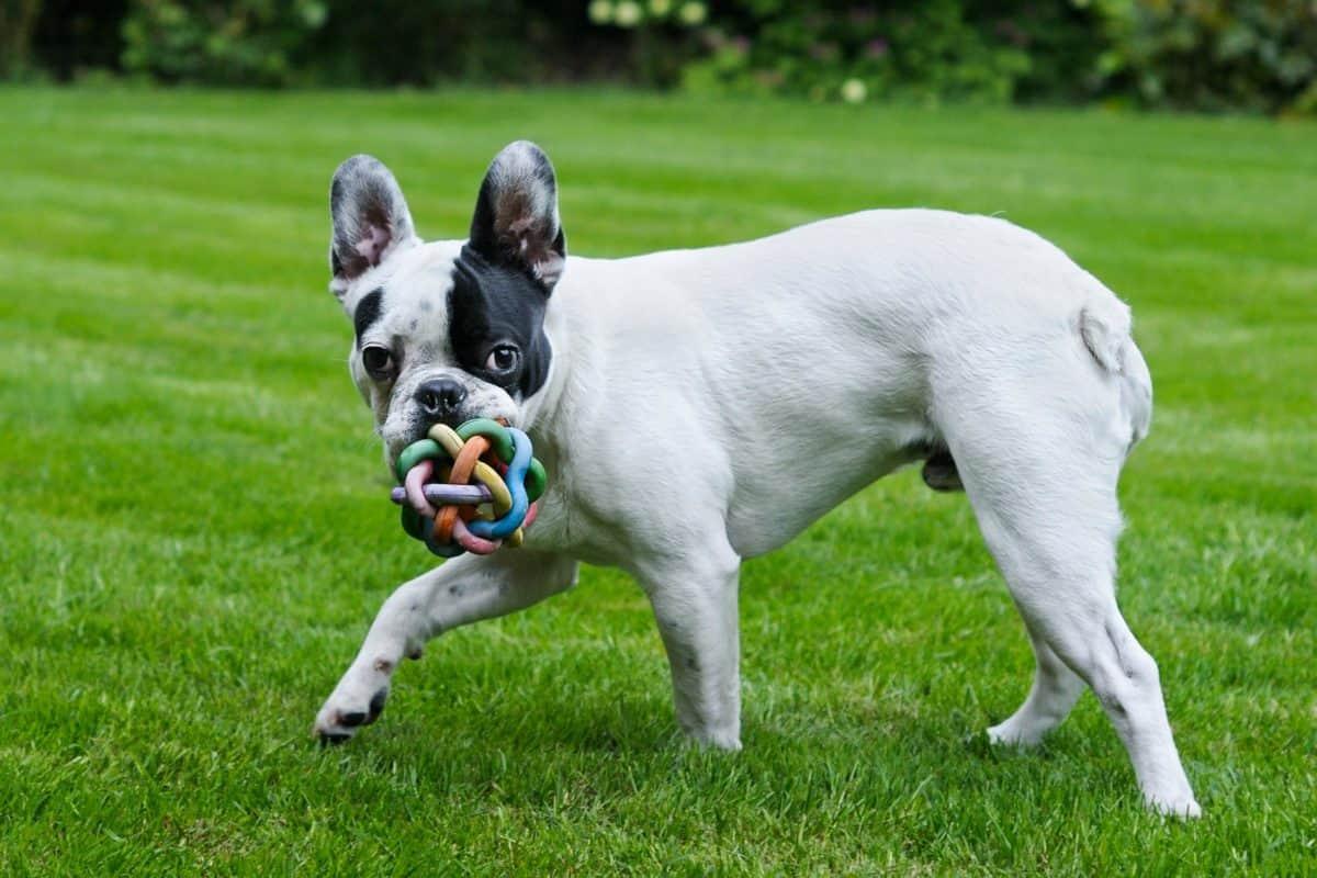 chiot, chien, herbe verte, animal, animal animal de compagnie, jouet, mignon, plein air