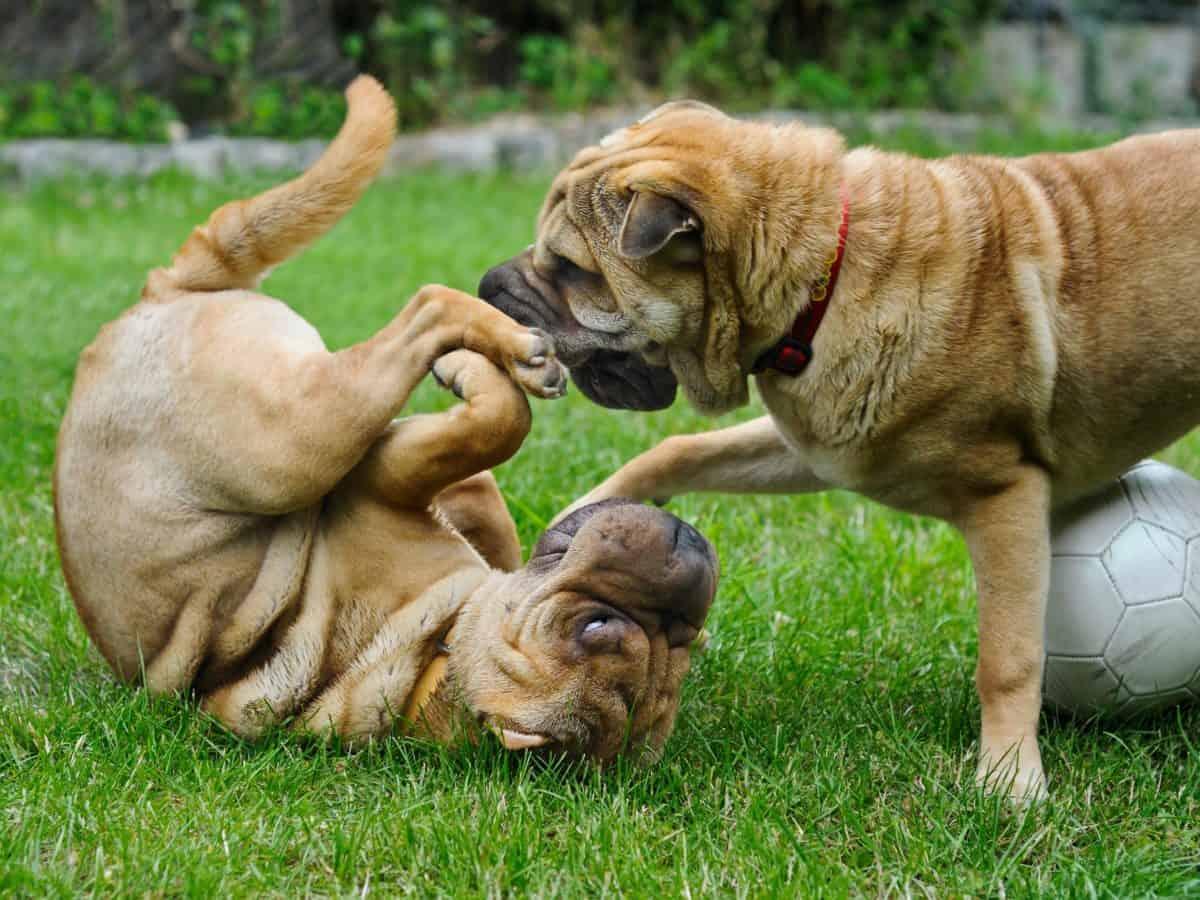 del animal doméstico, animal, lindo, perrito, perro, hierba, al aire libre, canina