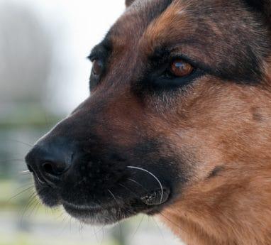 l'oeil, animal animal de compagnie, tête, nez, chiot, loyauté, portrait, chien, animal mignon,