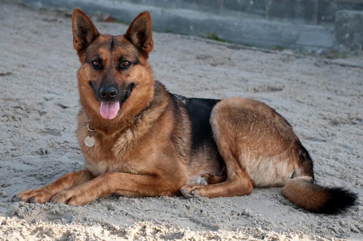 cane, carina, animale, animali, marrone, pelliccia, terra, sabbia, spiaggia