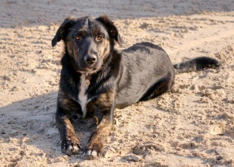 animal, black dog, ground, outdoor, beach, sand, landscape