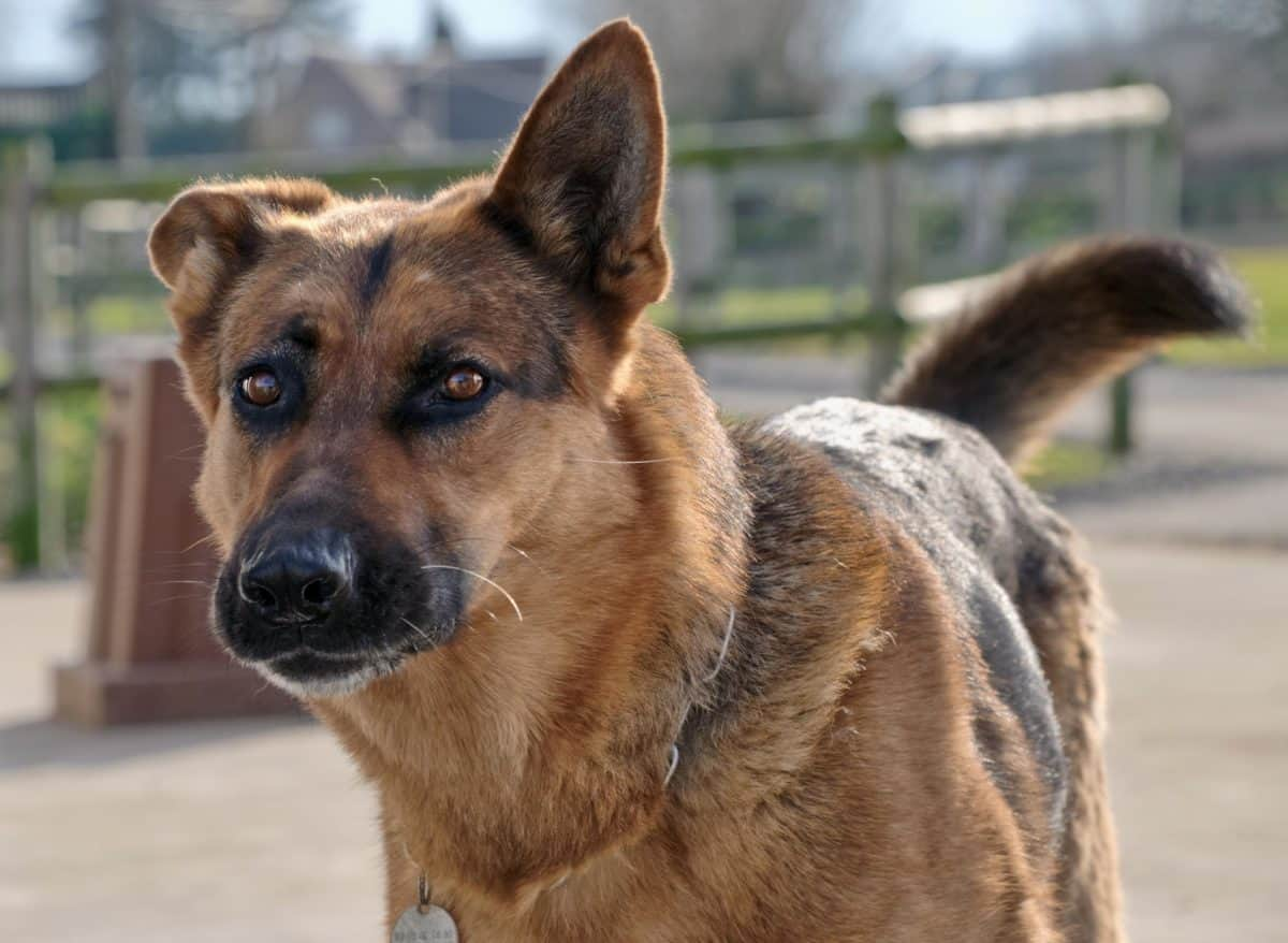 dog, animal pet, portrait, cute, animal, brown, outdoor