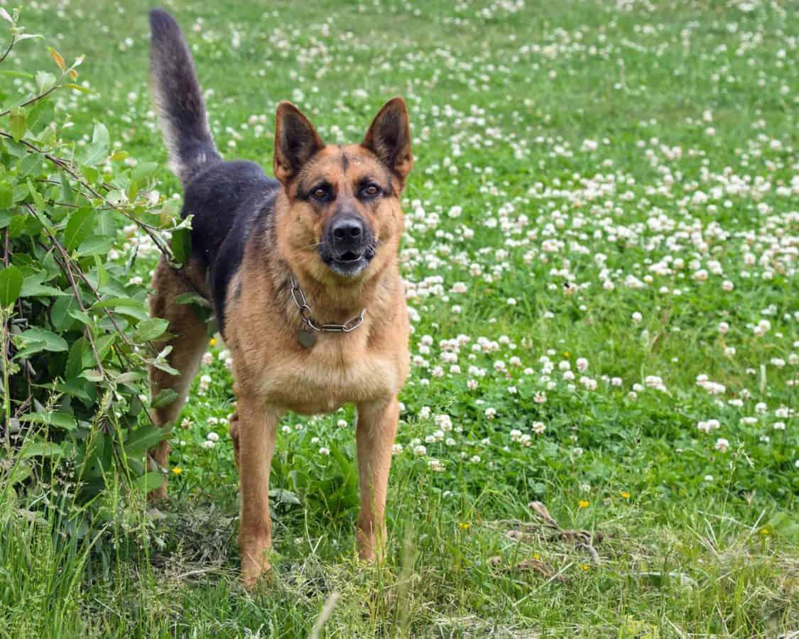 трева, родословие, животински РЕТ, портрет, куче, животно, кученце