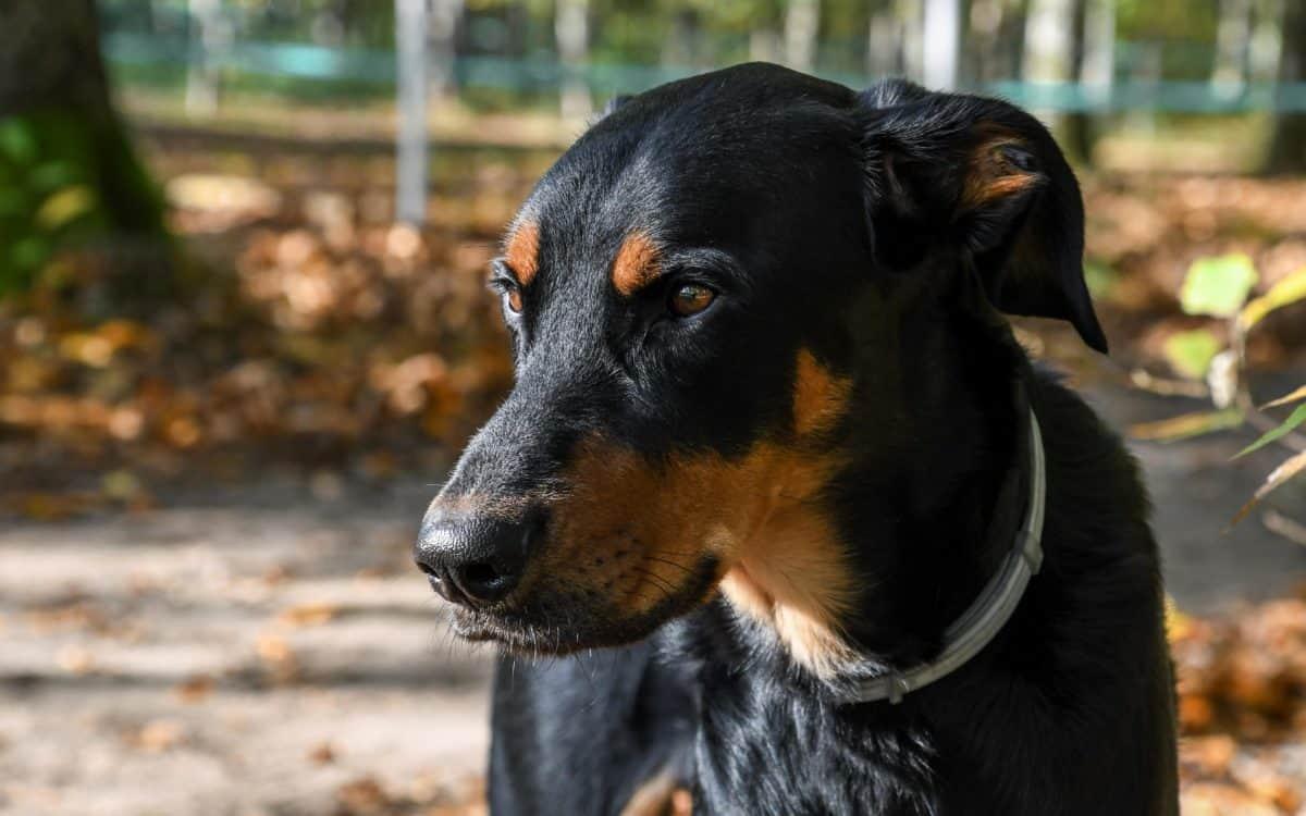 животински pet, Черно куче, животно, кучешки, портрет, земята, Открит