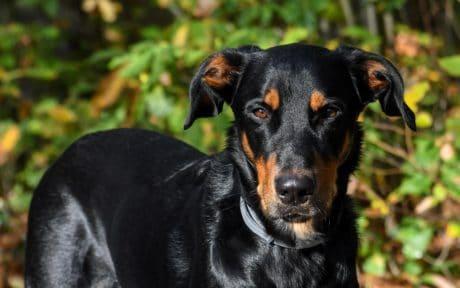 schwarz, Hund, Tier, Tier Haustier, Kopf, eckzahn, hübsch, Porträt, Welpen, Stammbaum