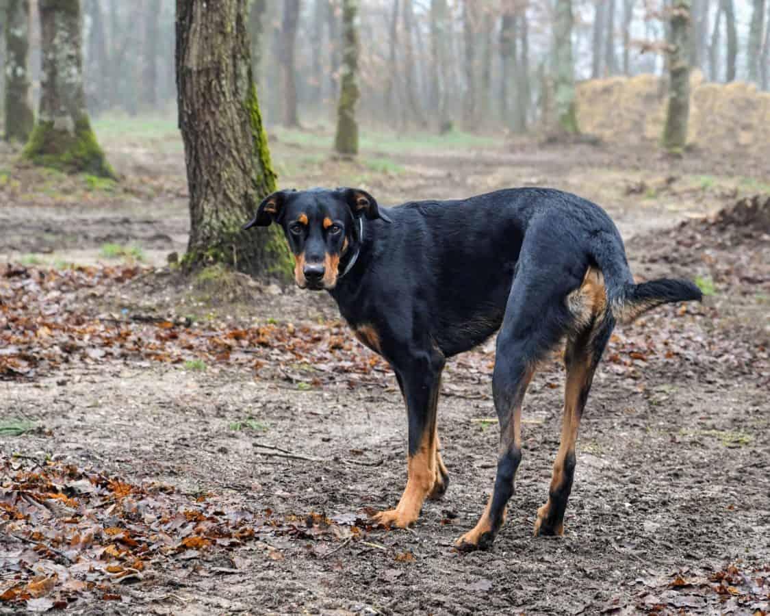 canino, floresta, natureza, paisagem, animal, animal, cão, ao ar livre, árvore, grama