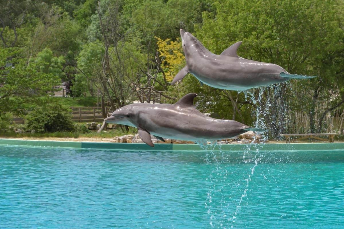 делфините, скок, вода, природа, риби, океан, дърво, животно, Открит