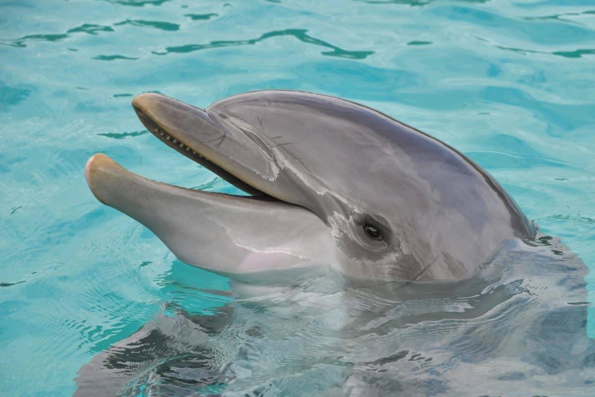 l'eau, sous l'eau, dauphins, océan, mer, animal, tête