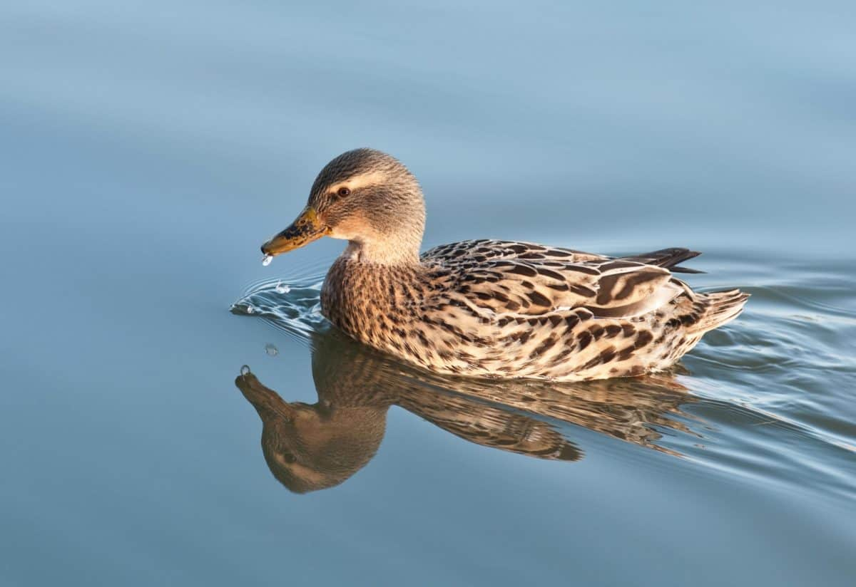duck, wildlife, bird, waterfowl, poultry, animal, outdoor