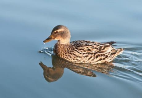 Ente, Tierwelt, Vögel, Wasservögel, Geflügel, Tier, im freien