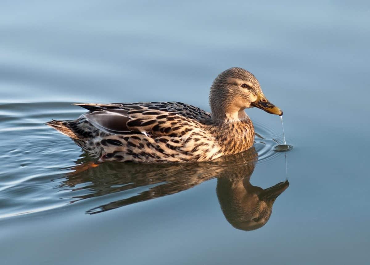 патица, водолюбивите птици, домашни птици, птици, дива природа, перо, вода