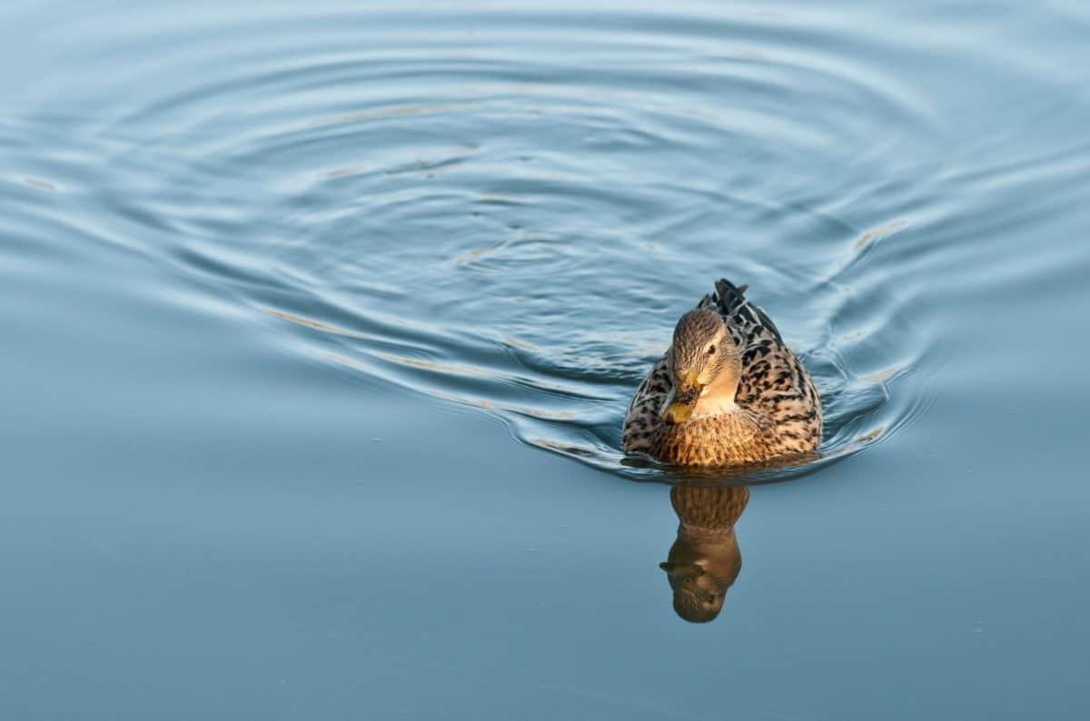 fauna, animale, acqua, natura, uccello, lago, riflessione, anatra