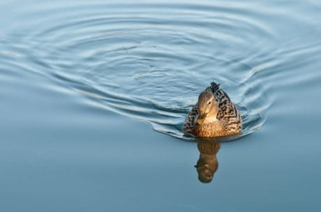 wildlife, animal, water, nature, bird, lake, reflection, duck