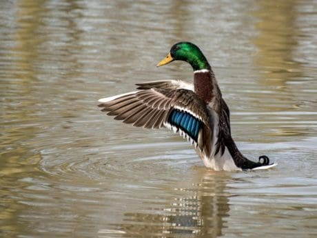wildlife, poultry, waterfowl, lake, water, bird, duck, wild, flight