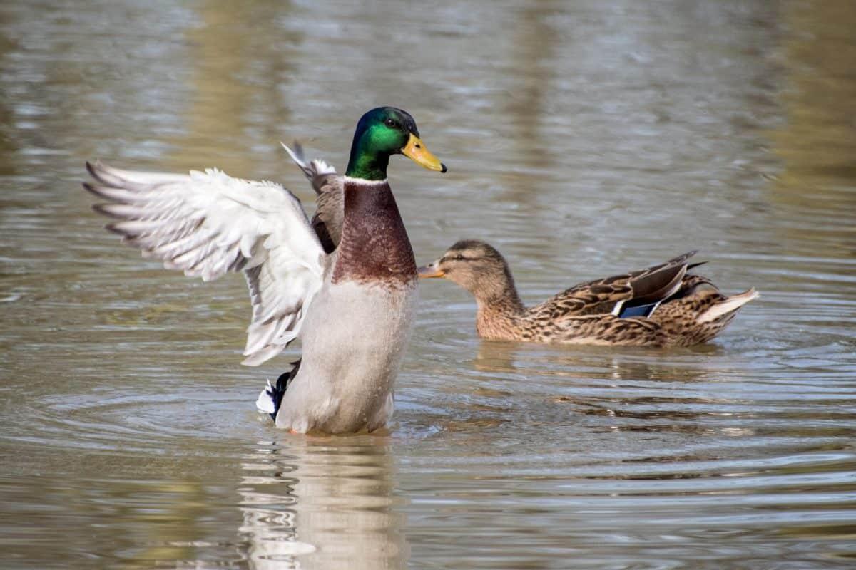 waterfowl, wild duck, poultry, bird, wildlife, lake