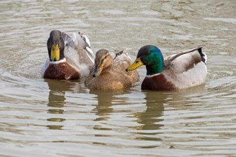 waterfowl, water, bird, poultry, wild duck, lake, flock