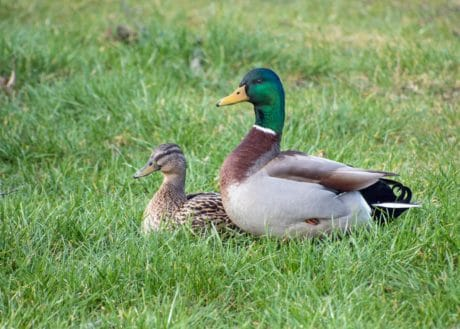 bird, duck, grass, outdoor, animal, nature, landscape, ornitology