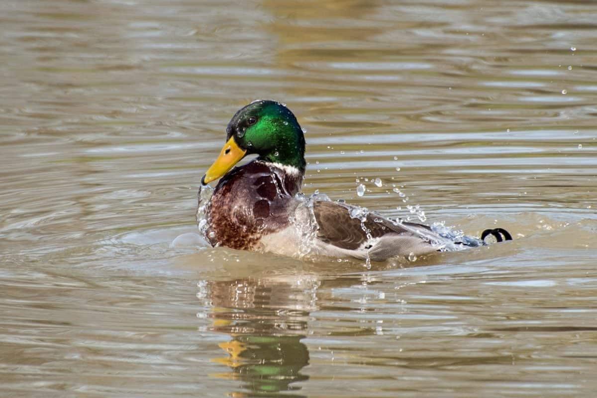 Wilde Ente, Vogel, Wasservögel, Tier-und Pflanzenwelt, Wasser, See, Teich, Wild, Ornithologie