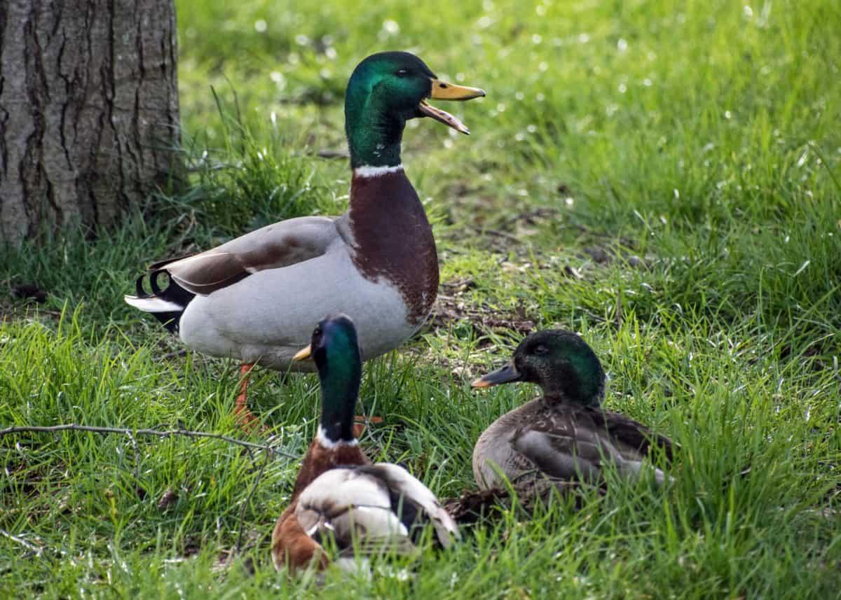 natura, anatra, fauna selvatica, erba, uccello, uccelli acquatici, piuma, Ornitologia, albero