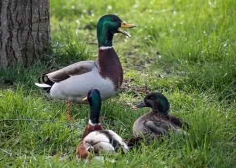 Natur, Ente, Tierwelt, Rasen, Vogel, Wasservögel, Feder, Ornithologie, Baum