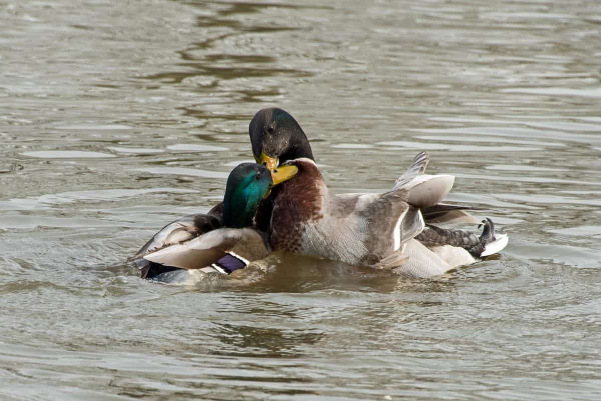 poultry, water, bird, waterfowl, lake, duck, outdoor, ornithology