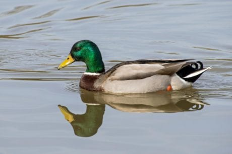 waterfowl, poultry, ornithology, wild duck, bird, water, animal, outdoor