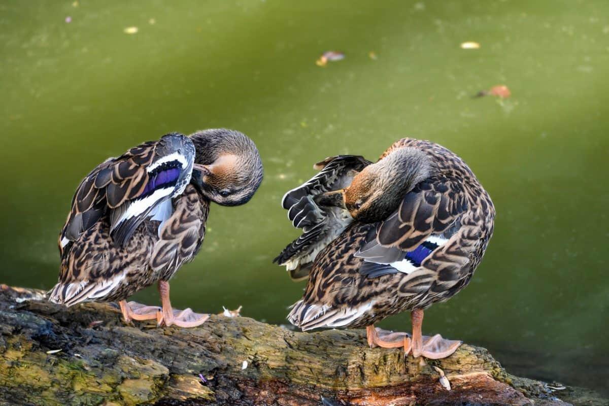 ornithology, wild duck, wildlife, animal, wild, feather, bird, beak, nature, outdoor