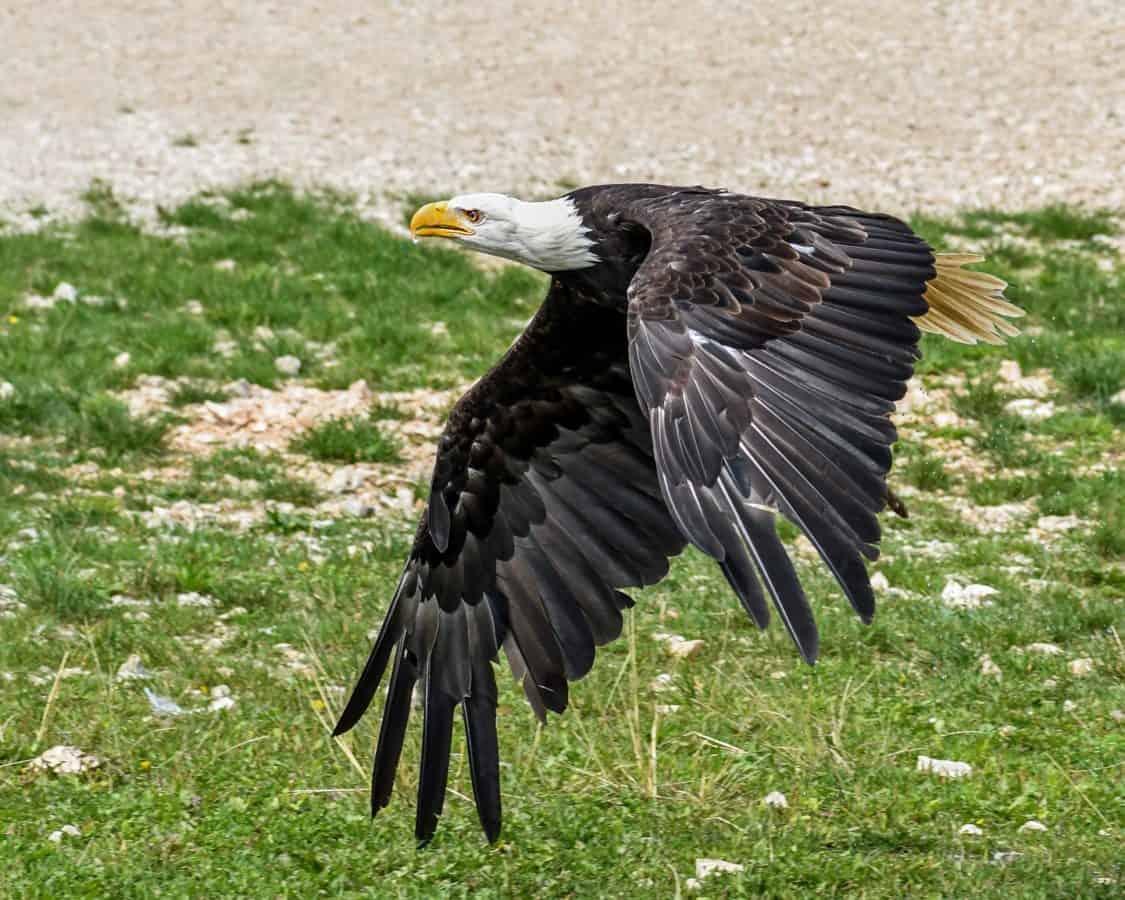 Águila, naturaleza, salvaje, raptor, pico, animal, fauna, aves, vuelo